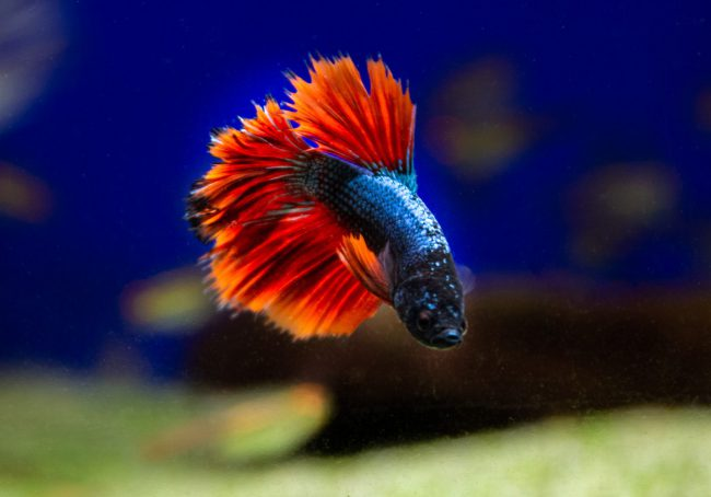 fighting fish-1