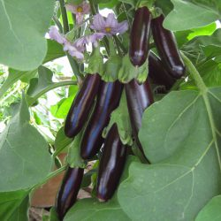 Aubergine – Long Purple